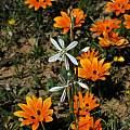 Chlorophytum undulatum, Calvinia, Mary Sue Ittner