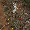 Chlorophytum undulatum, Bokkeveld, Mary Sue Ittner