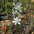 Chlorophytum undulatum, Nieuwoudtville, Cameron McMaster