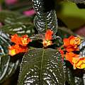 Chrysothemis pulchella NN1 [Shift+click to enlarge, Click to go to wiki entry]