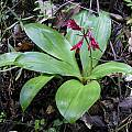 Clintonia andrewsiana, Bob Rutemoeller [Shift+click to enlarge, Click to go to wiki entry]