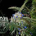 Clintonia andrewsiana, fruit, Bob Rutemoeller