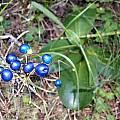 Clintonia andrewsiana berries, Bob Rutemoeller