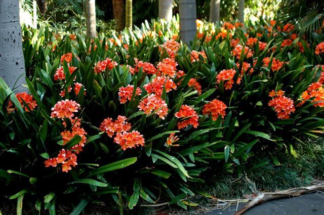 Pacific Bulb Society Clivia
