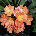 Clivia miniata 'Aurea' x 'Tropical Sunset', John Ingram