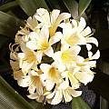 Clivia miniata 'Lemon Ice', John Ingram