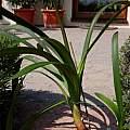 Clivia gardenii, Hans Joschko