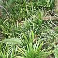 Clivia miniata in habitat, Andrew Harvie