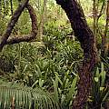 Clivia miniata, Kei River mouth, Bob Rutemoeller