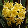 Clivia miniata 'Solomone Yellow', Jay Yourch