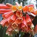 Clivia x cyrtanthiflora, John Ingram
