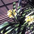 Clivia miniata, yellow, Liz Waterman