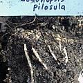 Codonopsis pilosula - tubers, Dave Brastow