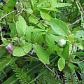 Codonopsis ussuriensis - leaves, Dave Brastow