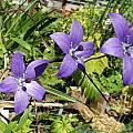 Codonopsis vinciflora - flower & friend, Dave Brastow