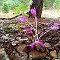 Colchicum 'Lilac Wonder', Travis Owen