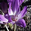 Colchicum 'Princess Astrid', Arnold Trachtenberg [Shift+click to enlarge, Click to go to wiki entry]