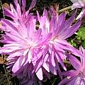 Colchicum 'Waterlily', Janos Agoston [Shift+click to enlarge, Click to go to wiki entry]
