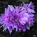 Colchicum 'Waterlily', Janos Agoston
