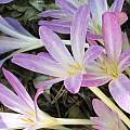 Colchicum autumnale, Nhu Nguyen [Shift+click to enlarge, Click to go to wiki entry]