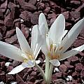 Colchicum autumnale 'Album', John Lonsdale [Shift+click to enlarge, Click to go to wiki entry]