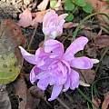 Colchicum autumnale 'Pleniflorum', Janos Agoston
