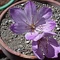 Colchicum bivonae, Jane McGary