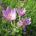 Colchicum bivonae in habitat, Angelo Porcelli