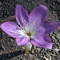 Colchicum boissieri, Jane McGary [Shift+click to enlarge, Click to go to wiki entry]
