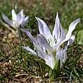 Colchicum brachyphyllum, Gideon Pisanty
