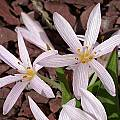 Colchicum cupanii var. glossophyllum, John Lonsdale [Shift+click to enlarge, Click to go to wiki entry]