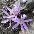 Colchicum eichleri, iNaturalist, mallaliev, CC BY-NC