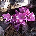 Colchicum feinbriniae, Gideon Pisanty