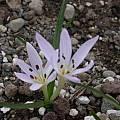 Colchicum glossophyllum, Jane McGary