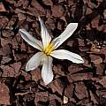 Colchicum kesselringii, John Lonsdale [Shift+click to enlarge, Click to go to wiki entry]