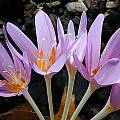 Colchicum laetum, John Lonsdale [Shift+click to enlarge, Click to go to wiki entry]