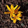 Colchicum luteum, John Lonsdale [Shift+click to enlarge, Click to go to wiki entry]