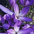 Colchicum pannonicum, Arnold Trachtenberg