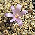 Colchicum persicum, John Lonsdale [Shift+click to enlarge, Click to go to wiki entry]