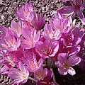 Colchicum sp., John Lonsdale [Shift+click to enlarge, Click to go to wiki entry]