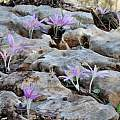 Colchicum stevenii growing out from between rocks, Gideon Pisanty