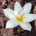 Colchicum szovitsii, John Lonsdale [Shift+click to enlarge, Click to go to wiki entry]