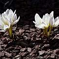 Colchicum szovitsii, John Lonsdale