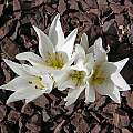 Colchicum szovitsii 'Snow White', John Lonsdale [Shift+click to enlarge, Click to go to wiki entry]