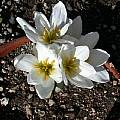 Colchicum szovitsii, Jane McGary [Shift+click to enlarge, Click to go to wiki entry]