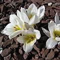 Colchicum szovitsii 'Vardaovit', John Lonsdale [Shift+click to enlarge, Click to go to wiki entry]