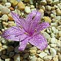 Colchicum variegatum, John Lonsdale [Shift+click to enlarge, Click to go to wiki entry]