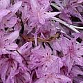 Colchicum × agrippinum, Jane McGary