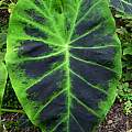Colocasia esculenta var. antiquorum 'Illustris', Jay Yourch