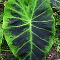 Colocasia esculenta var. antiquorum 'Illustris', Jay Yourch